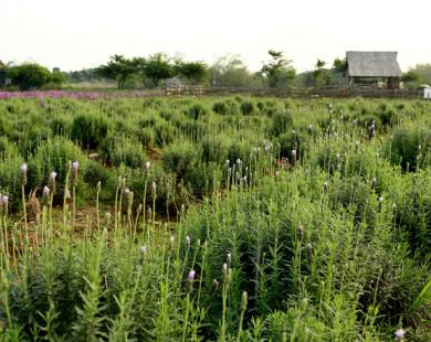 Hà Nội cũng có cánh đồng oải hương đẹp mê hồn